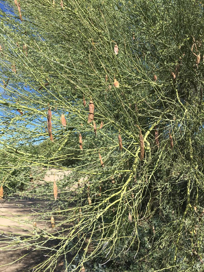 Palo Verde Seed Pods Or Palo Verde Tree