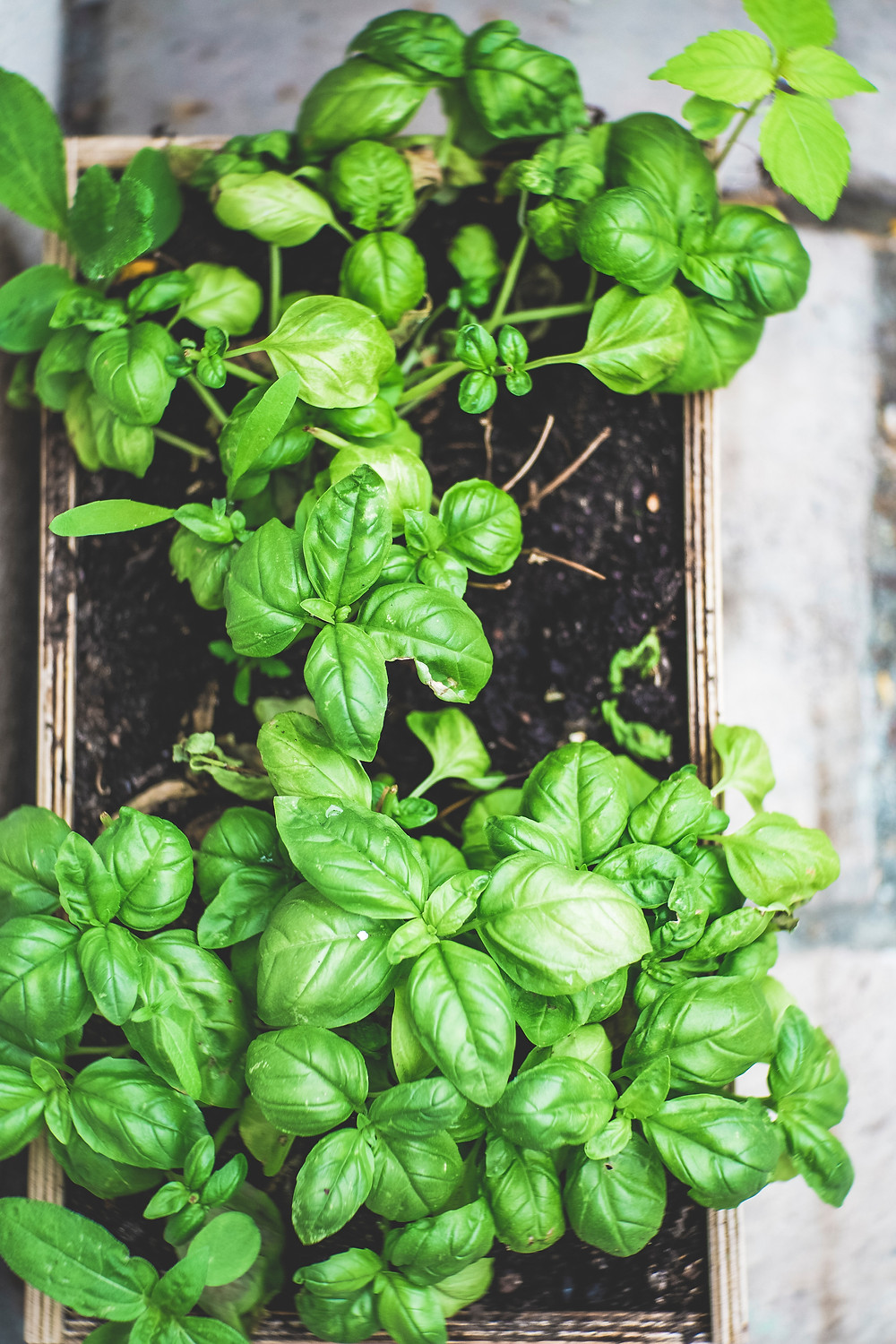 Sacred Plant Co Sweet Basil From Seeds