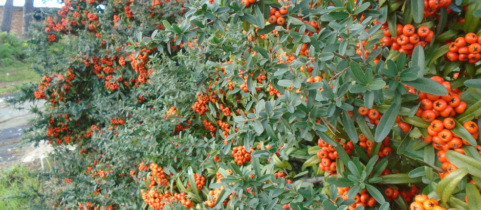 How to Grow Dateplum Persimmon Trees From Seeds!