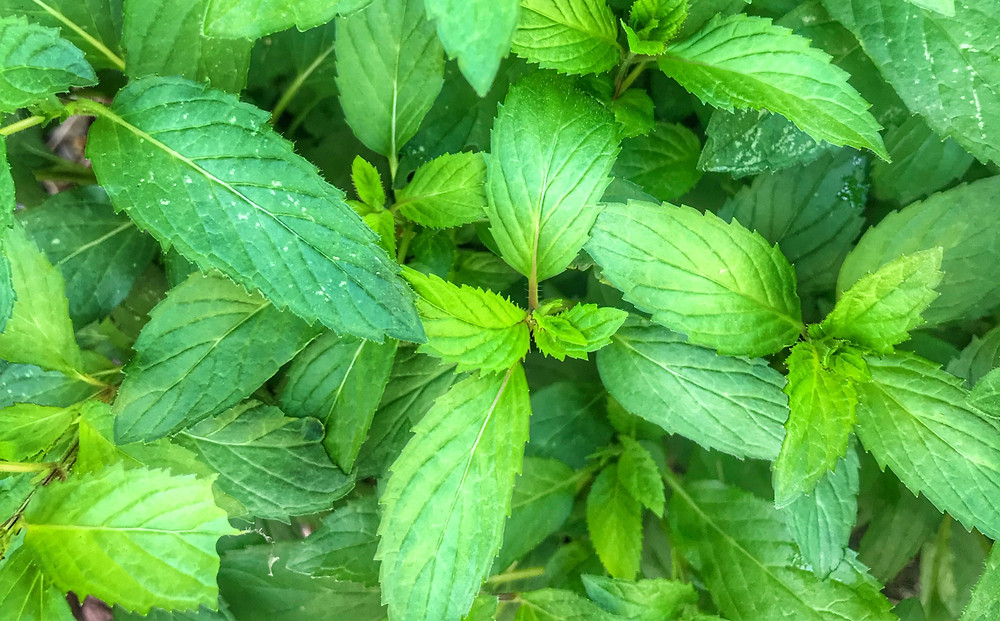 Sacred Plant Co Peppermint Planting Guide