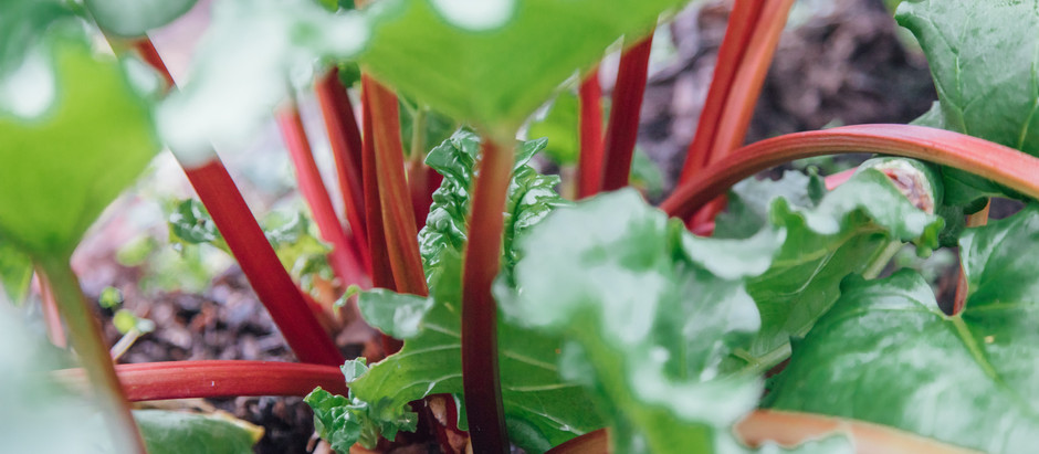 How To Grow Victoria Rhubarb From Seeds