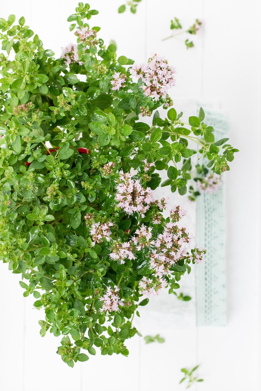 Sacred Plant Co Sweet Marjoram