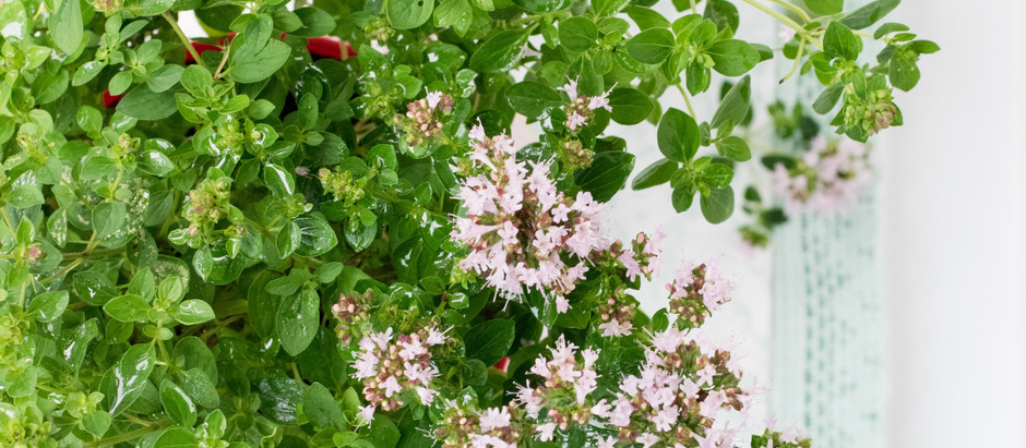 How to Grow Sweet Marjoram from Seed!