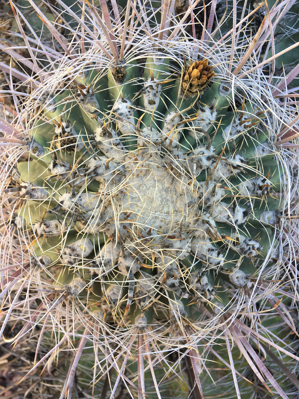 Fishhook barrel cactus from the top