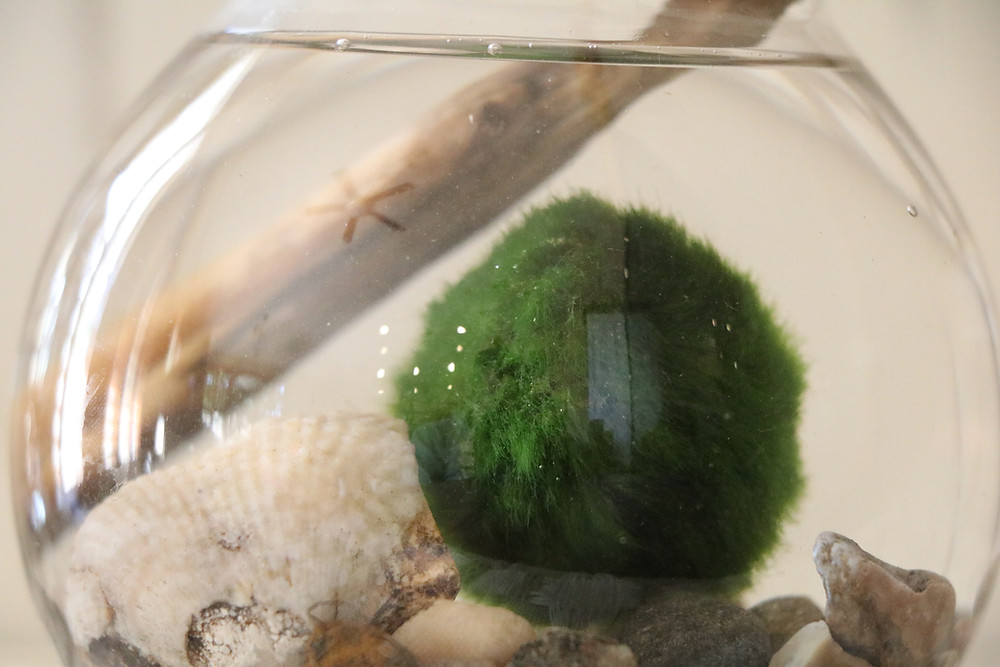 Close Up Marimo Moss Ball