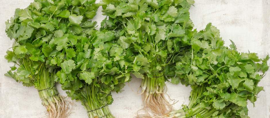 How to Grow Cilantro From Seed!