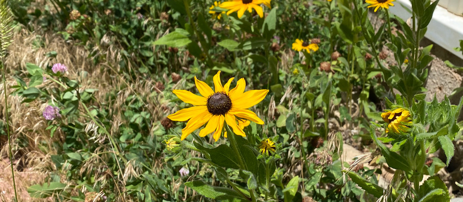 How to Grow Black Eyed Susan Flowers From Seeds