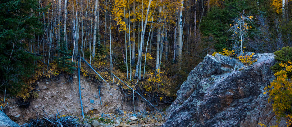 How to Grow Quaking Aspen Trees From Seeds