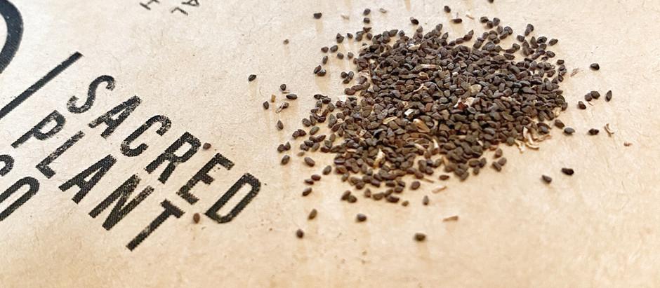 How to Grow Yerba Santa Ship From Seeds!