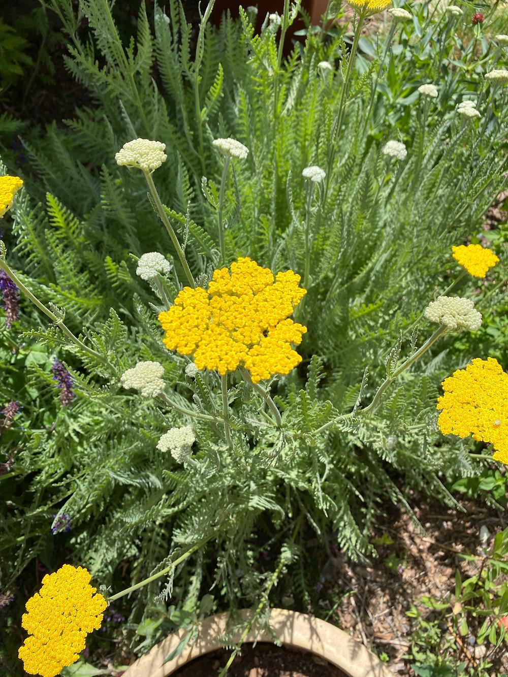 Sacred Plant Co Yellow Yarrow Flowers