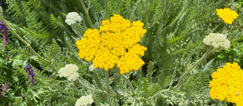 How to Grow Yellow Yarrow From Seeds!