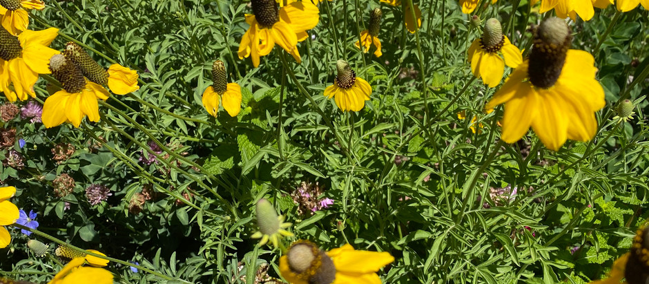 How To Grow Long Headed Coneflower From Seeds