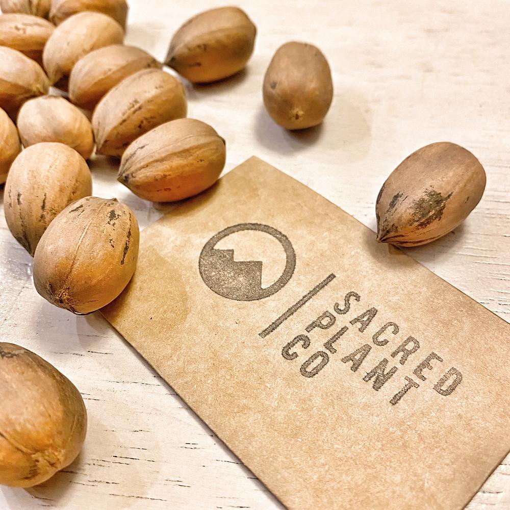 Sacred Plant Co Pecan Seeds
