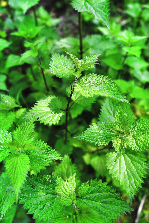Sacred Plant Co Stining Nettle Seeds