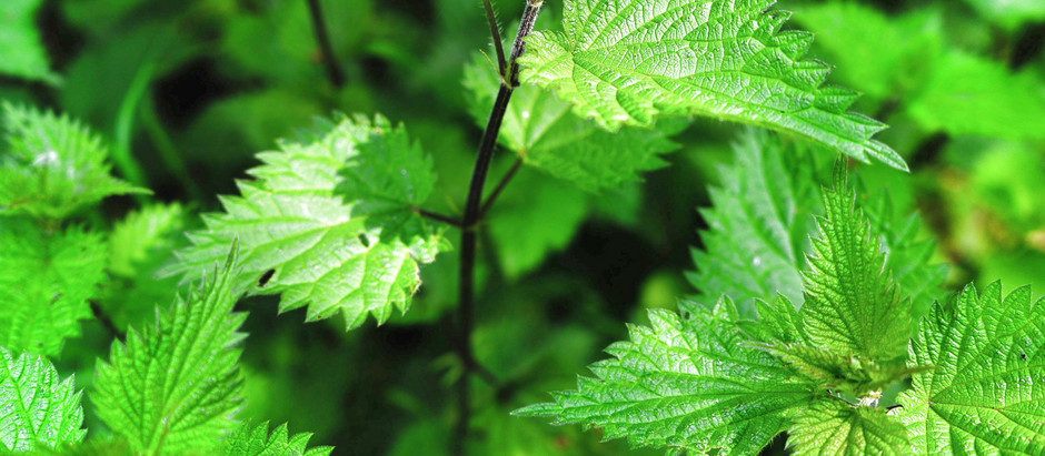 How to Grow Stinging Nettle From Seed!