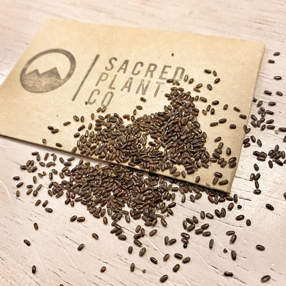 Sacred Plant Co Guide To Growing Lavender Munstead Seeds