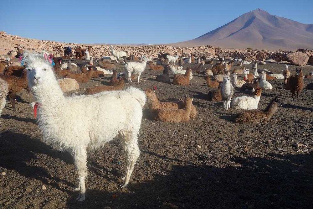 Notre lama préféré dans le sud lipez