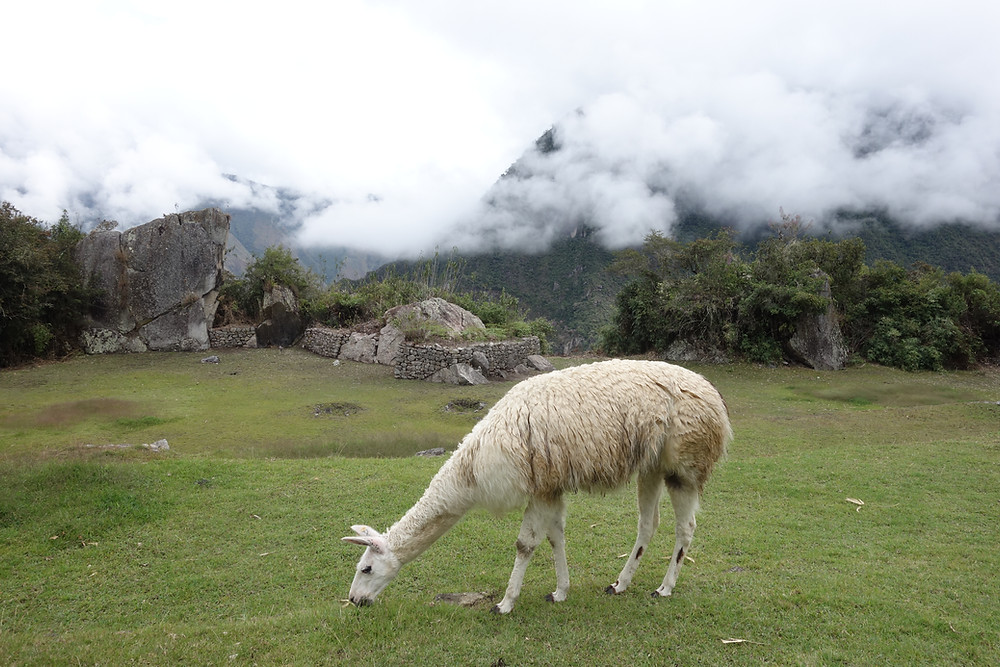 Machu Picchu et lamas