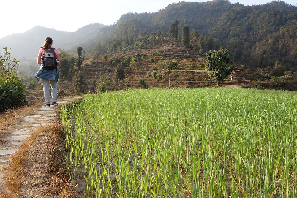 rizières à Dhampus