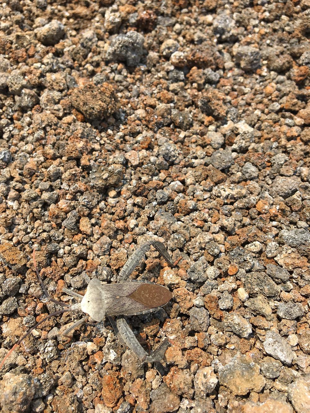 insecte cerro negro