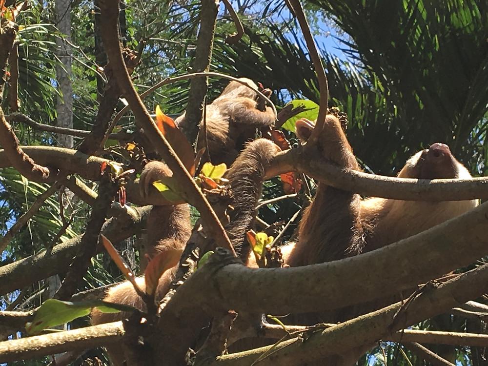 paresseux au jaguar rescue center