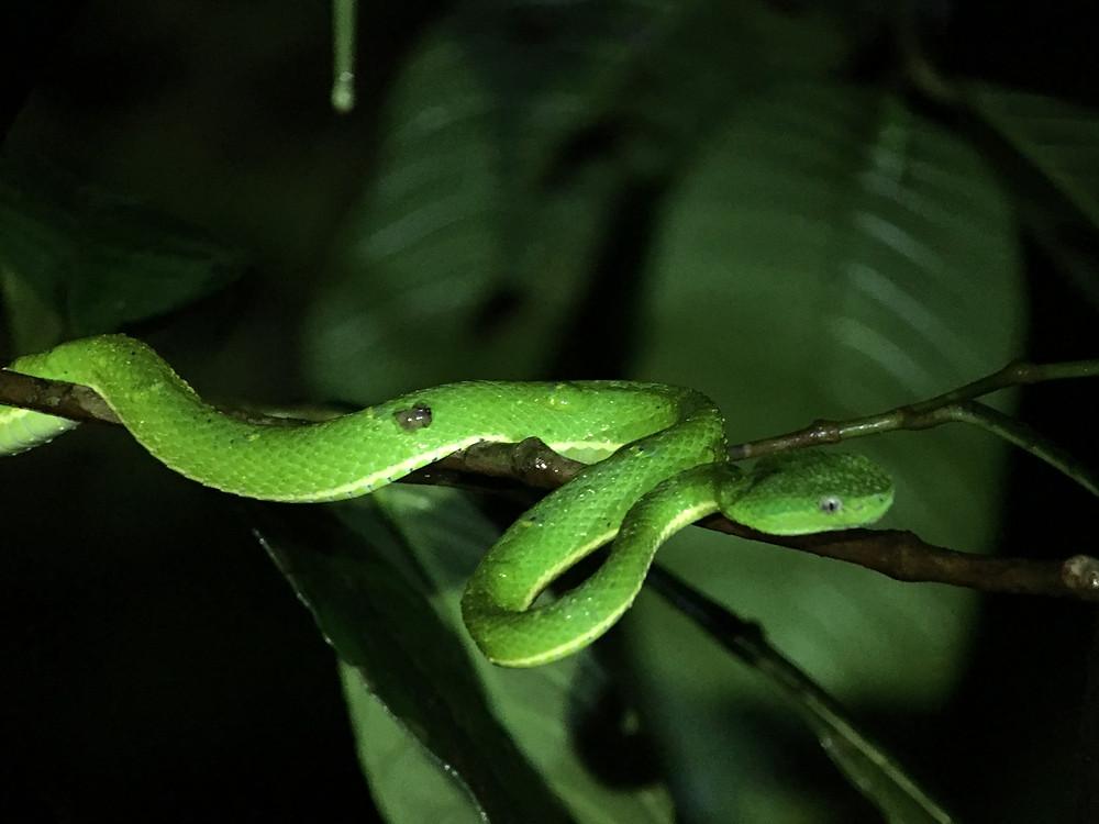 vipère verte fluo