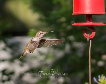 hummingbirds-12.jpg