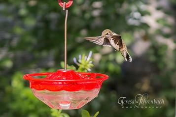 hummingbirds-14.jpg