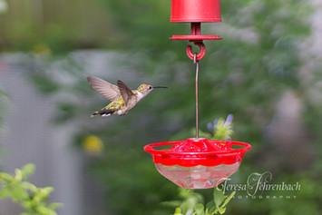 hummingbirds-16.jpg