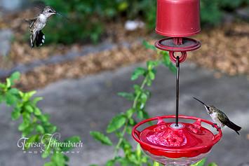 hummingbirds-21.jpg