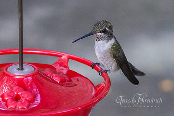 hummingbirds-19.jpg
