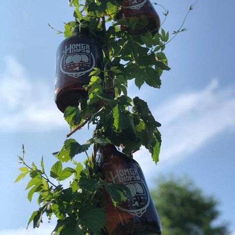 Growlers hanging from hop vine