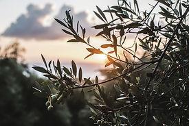 Oliven Griechenland.jpg