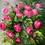 Thumbnail: Posy of Pink Roses