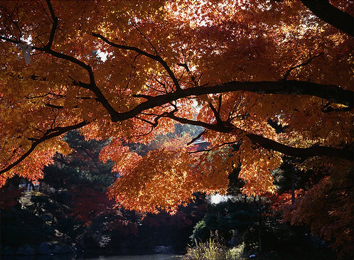 Red Maple, Kyoto, Japan