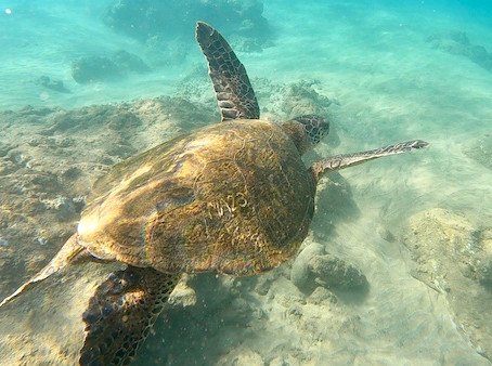 The Honu Count 🐢