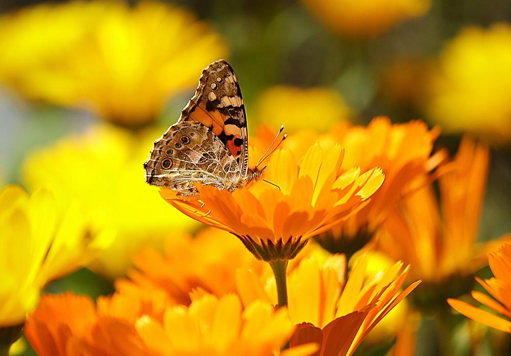 Gul, gula blommor, blommor, fjäril