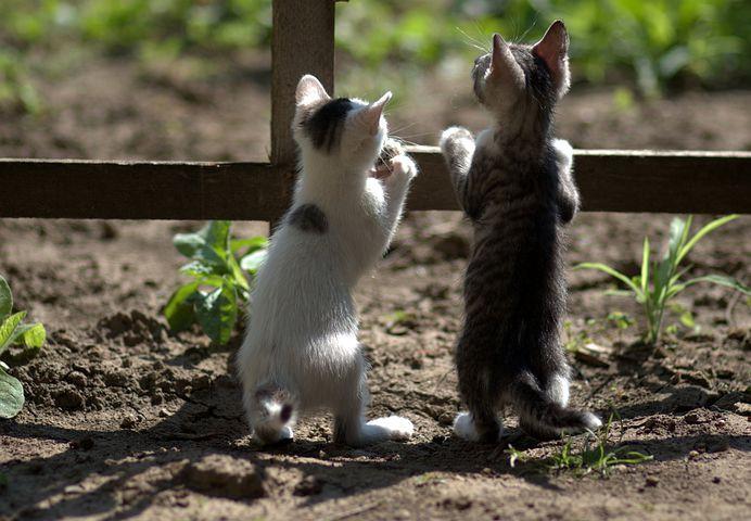 katter, en vit katt, en randig katt, kattungar, staket, tittar