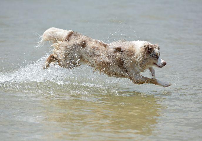 hund, springer, vatten.