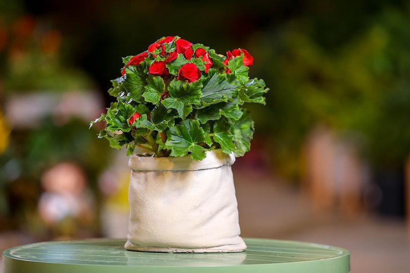 בגוניה ורד עציץ בכלי דמוי שק