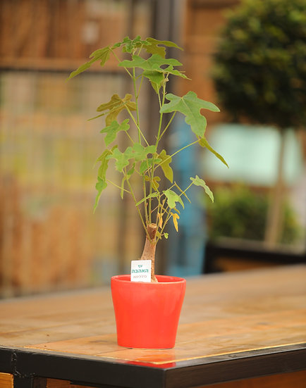 עץ האהבה עציץ 12 בכלי אדום