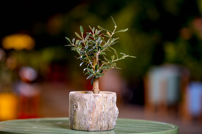 עץ זית ננסי עציץ 12 בכלי מעוצב כגזע