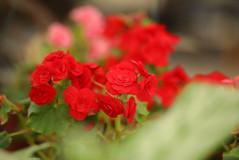 משתלת בלבן ביגוניה ורד.JPG