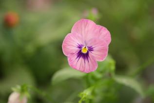 משתלת בלבן צמחים עונתיים.JPG