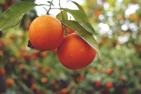 Cherries and Mandarins: How To Store Fruit in Winter in the Office