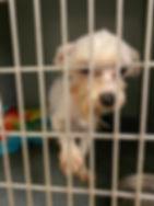white maltese puppy mill.jpg