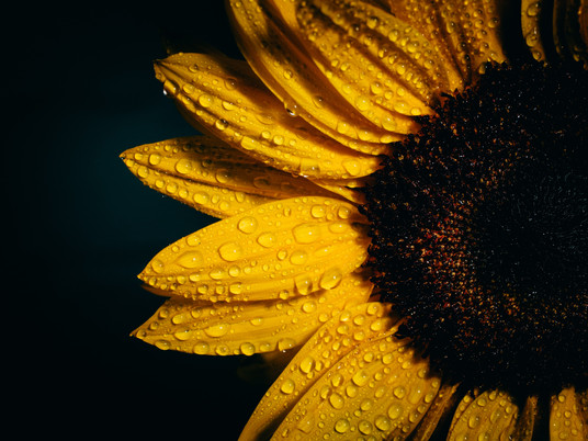Why sunflowers are the best bloomers