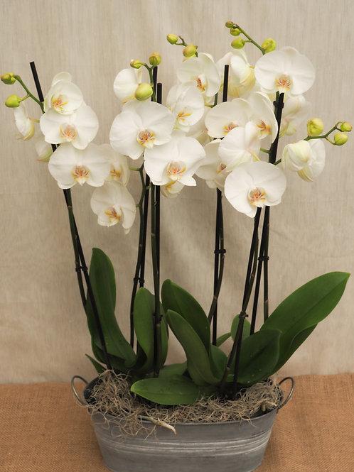 2 orchideeën in schaal