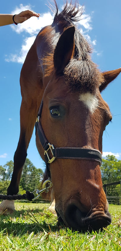 Monte the equine therapy horse