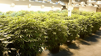 Marijuana-Growing.png